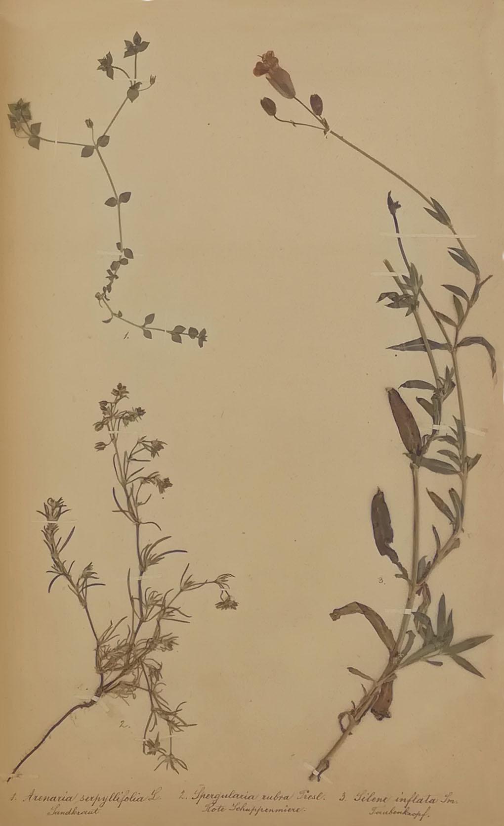 Erbario di Tullio Castellani pagina 37 | Arenaria Serpyllifolia L - Spergularia Rubra e Silene Inflata | Fondazione Tullio Castellani